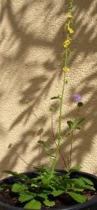 Agrimonia eupatoria_1a