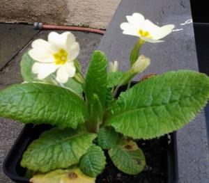 Primula vulgaris_2