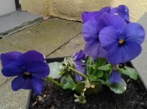 Viola cornuta_Blau_1