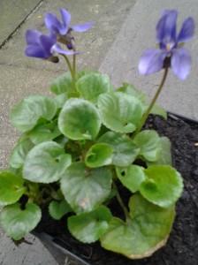 Viola odorata_1