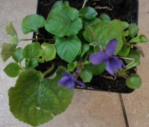 Viola odorata_2