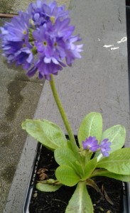 Primula denticulata_3