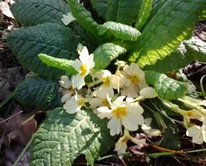 Primula vulgaris_3