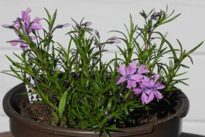 Phlox subulata_Purple Beauty_1