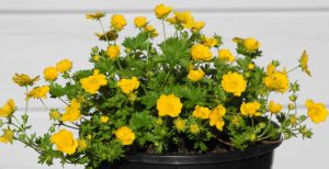 Potentilla tabernaemontani_Orange Form_1