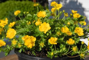 Potentilla tabernaemontani_Orange Form_6