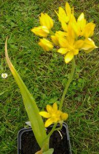 Allium moly_2