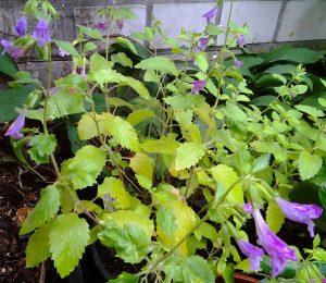 Calamintha grandiflora_2
