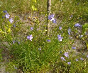 Campanula rotundifolia_1a