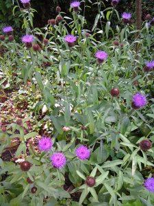 Centaurea nigra_1