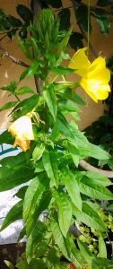 Oenothera_1