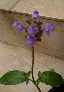 Prunella grandiflora_4