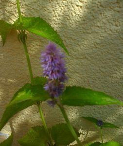 Agastache foeniculum_1