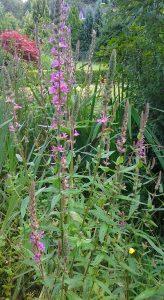 Lythrum salicaria_1