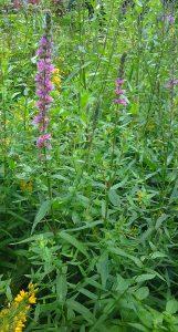Lythrum salicaria_2