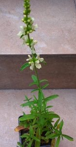 Stachys recta_2