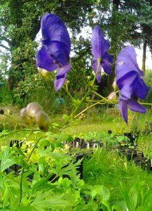 Aconitum napellus_3