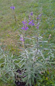 Linaria purpurea_4