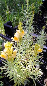 Linaria vulgaris_1