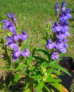Scutellaria baicalensis_2