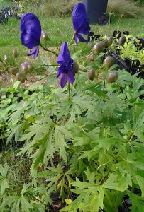 Aconitum napellus_Foto1269