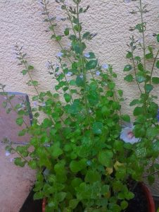 Calamintha nepeta Blue Cloud_Foto1209
