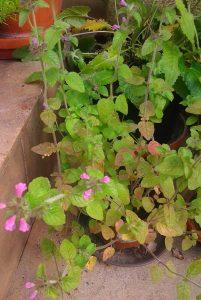 Clinopodium vulgare_Foto1216