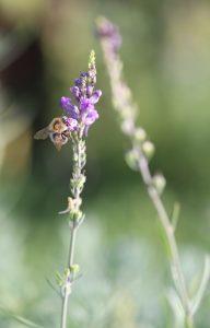 Linaria purpurea Hummel_3383