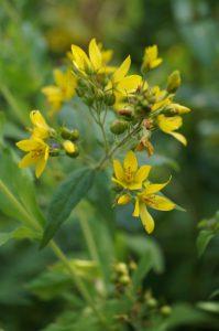 Lysimachia vulgaris Blüte2