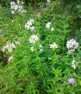 Saponaria officinalis_Foto1221