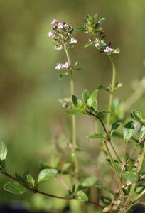 Thymus serpyllum Blüte_3327