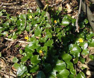 Ranunculus ficaria_2