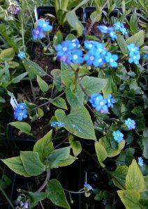 Brunnera macrophylla_173506