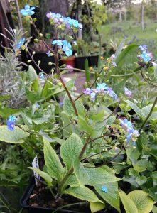 Brunnera macrophylla_3_102545