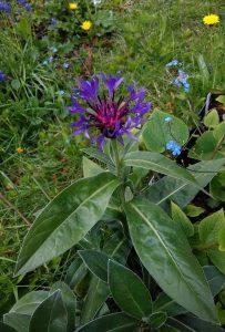 Centaurea montana_2_144929