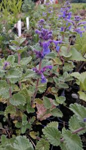 Nepeta faassenii Walkers low_130419