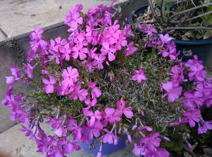 Phlox subulata Daniels Cushion_5_174414