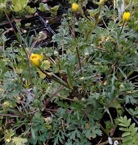 Ranunculus bulbosus_2_130344