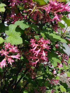 Ribes sanguineum_133529