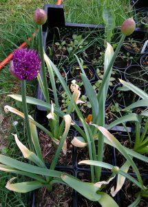 Allium aflatunense_185437