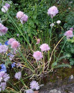Allium schoenoprasum_1_20170520