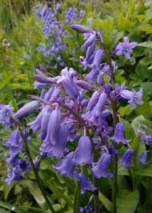Hyacinthoides nonscripta Bluete_185600
