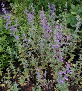 Nepeta faassenii Walkers Low_20170525