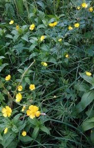 Ranunculus repens_20170520