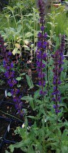 Salvia nemorosa Caradonna_20170528