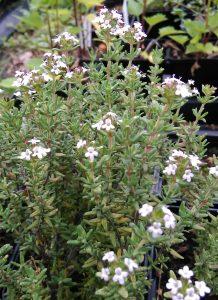 Thymus vulgaris_2_20170528