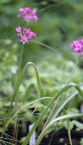 Allium siculum_2597