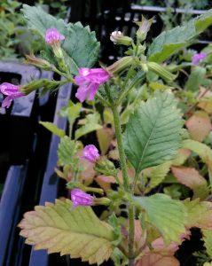 Calamintha grandiflora Bluete_20170531