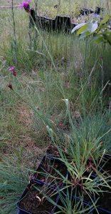 Dianthus carthusianorum_20170531
