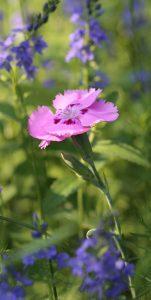 Dianthus plumarius_1_2576